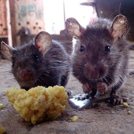Rats Harmed by Great-Grandmothers' Exposure to Dioxin