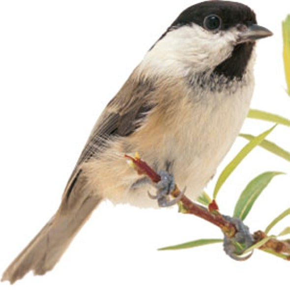 Microchip Tracking Reveals How Songbirds Forage