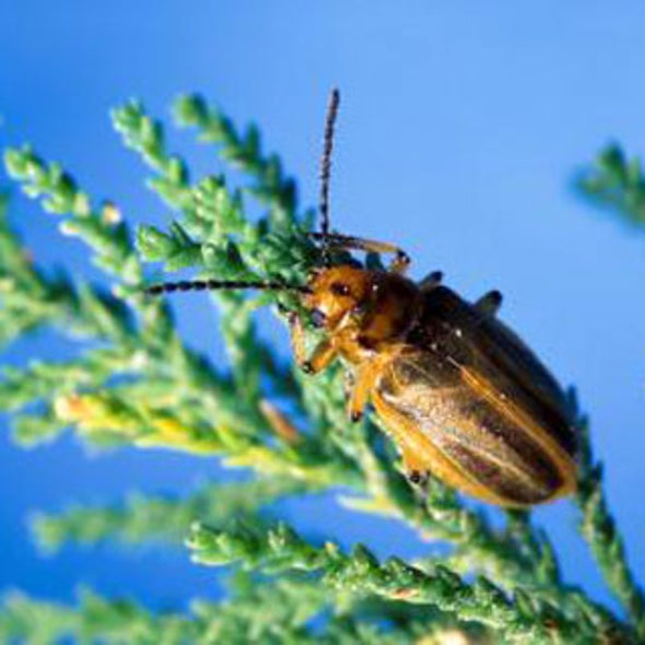 Are Beetles Imported into the U.S. to Kill Invasive Trees Doing Too Good a Job?