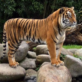 Biologists Home in on Tiger Stripes and Turing Patterns [Slide Show]