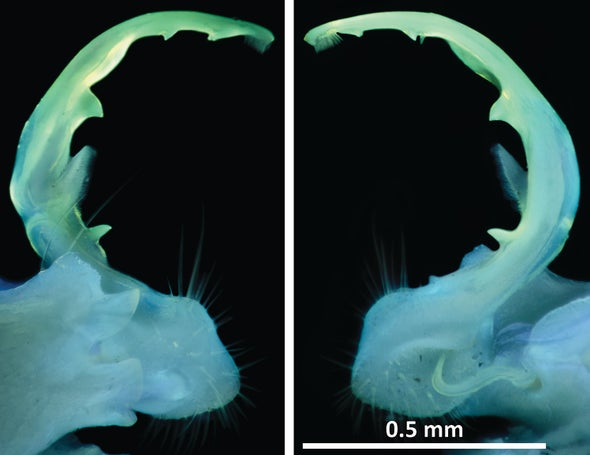 Millipede Genitalia Glow in Ultraviolet Light