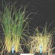 Sugar Genes Make Rice Crops Sturdier