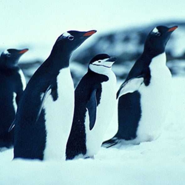 No winners among penguins as Antarctic warms