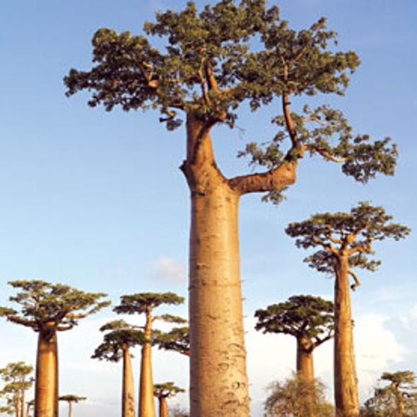 Climate Change Threatens Madagascar's Towering Baobab Trees