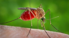 Brazil Scientists Find Zika Traces in Different Mosquito Species