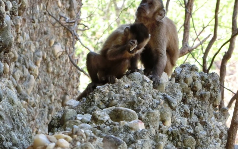 "Wild Monkeys' Stone ""Tools"" Force a Rethink of Human Uniqueness"