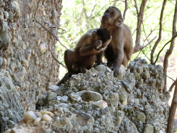 """Wild Monkeys' Stone """"Tools"""" Force a Rethink of Human Uniqueness"""