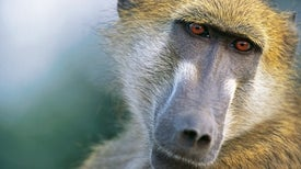 Baboons Survive for Half a Year after Heart Transplants from Pigs