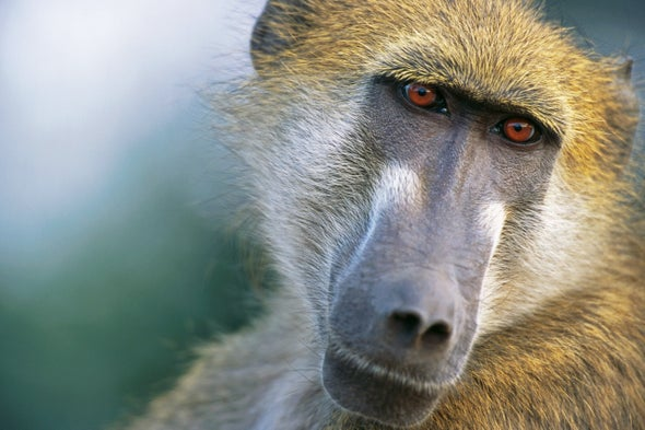 Pig Hearts Successfully Transplanted into Baboons for First Time