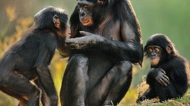 Bonobos Use Sex to Cool Tempers