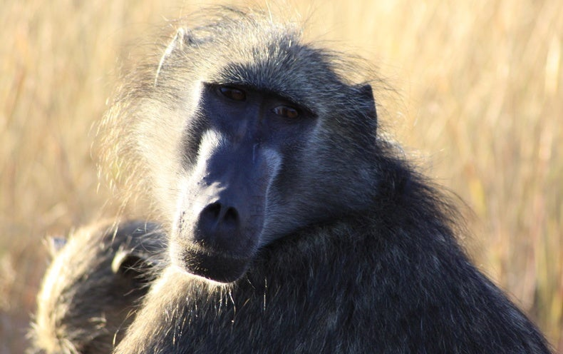 Origin Of Human Speech: Baboons Too Produce Vowel Sounds