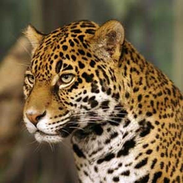 U.S. Jaguar Habitat Designation Delayed
