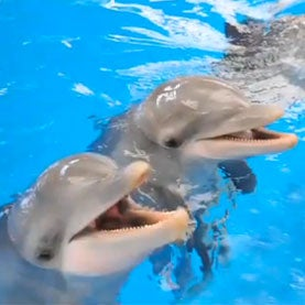 Dolphins Remember One Another for Decades