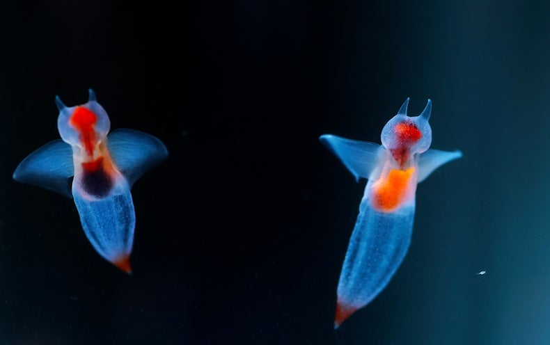 Sea Angels and Sea Butterflies Reveal Climate Change Consequences