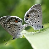 Miami Blue Butterfly - candidate species