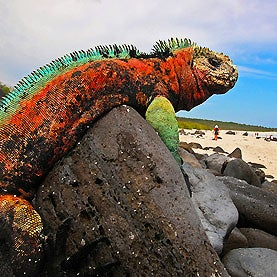 Island Lizards Are Tamer Than Mainland Counterparts