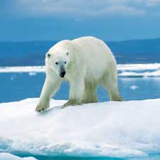 polar bear genome ancient evolution climate change