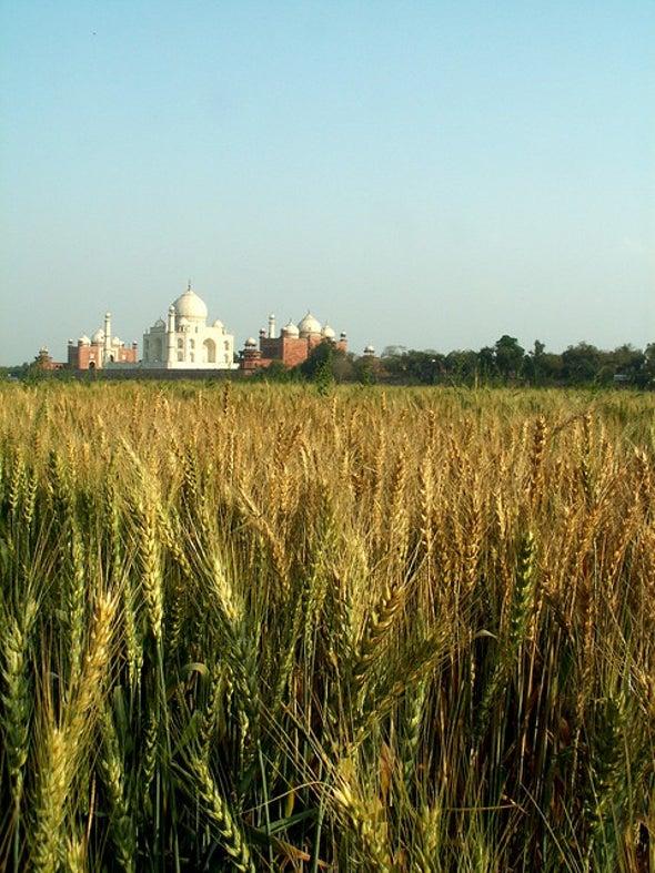 Rising Heat Wilts Wheat Crop