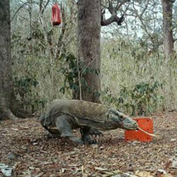 How to Count Komodo Dragons