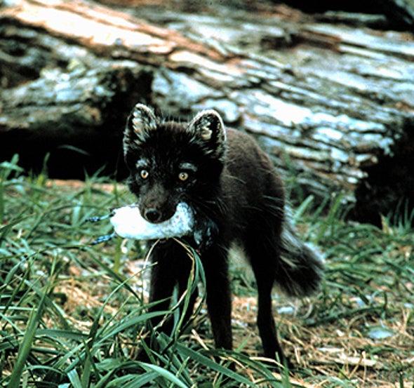 Revenge of the Fox