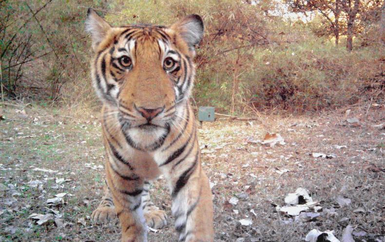 Camera Trap Photographs Capture India's Wild Tigers