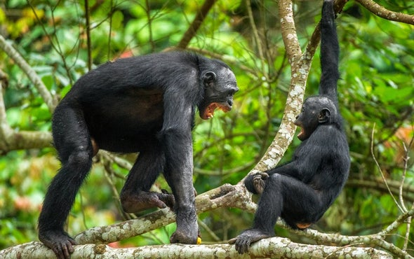 Bonobos Might Not Be So Laid-Back after All