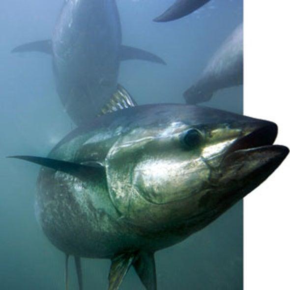 The Bluefin Tuna in Peril