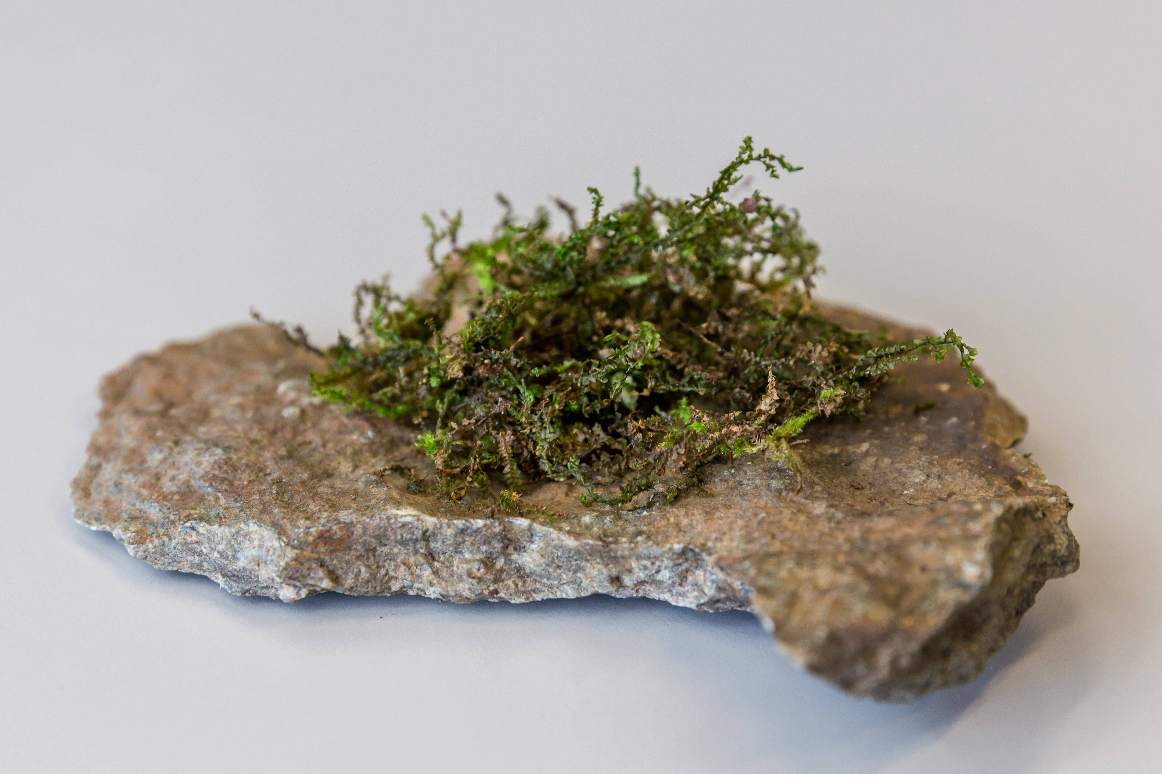 Lowly Moss Like Plant Seems To Copy Cannabis Scientific American