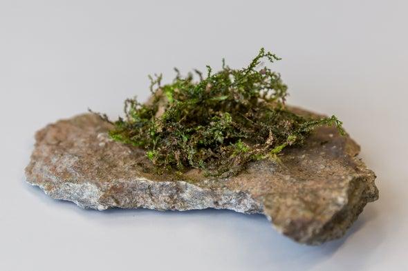 Lowly Moss-Like Plant Seems to Copy Cannabis