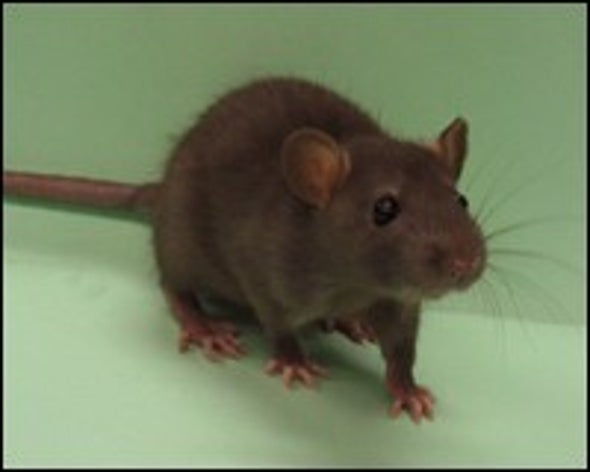 Lab Rat Genome Sequenced