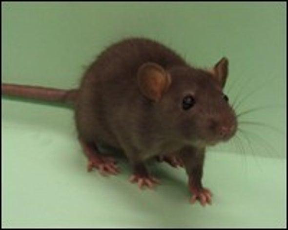 Lab Rat Genome Sequenced