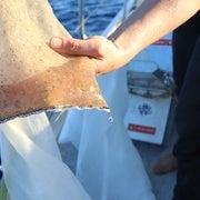 Microplastic scooped out of the surface waters of the Pacific Ocean using a manta trawl.