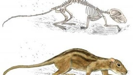 Early Mammals Had Social Lives, Too