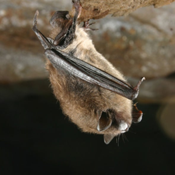 It's Official: Fungus Causes Bat-Killing White-Nose Syndrome