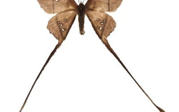 Moths Evade Bats With Slight of Wing