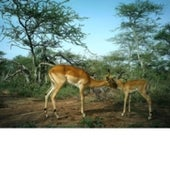 IMPALA WITH YOUNG: