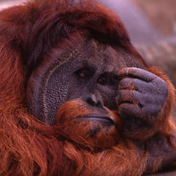 Great Apes Can Have a Mid-life Crisis, Too