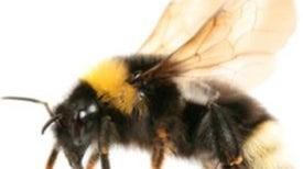 Do Bees Have Feelings?