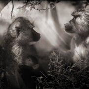 BABOONS IN PROFILE