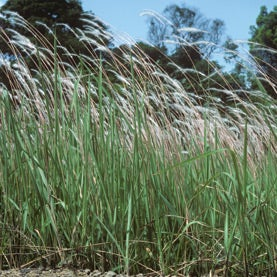 A Wild, Weedy Scourge: Fast Spreading Cogongrass Threatens Forests in the U.S. South