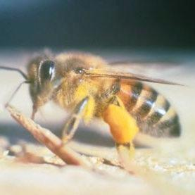 Bee Researchers Make Friends with a Killer