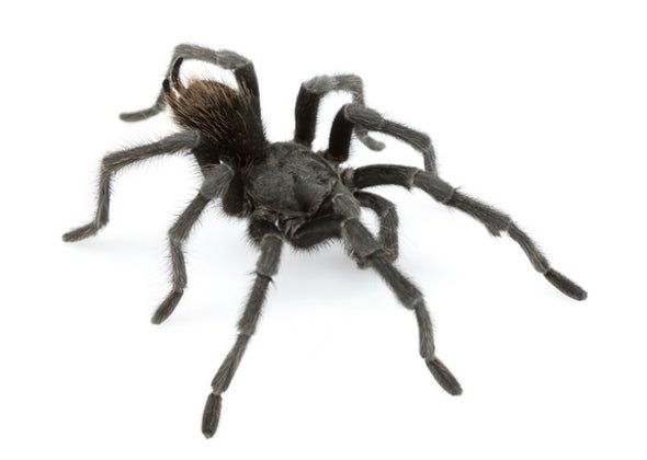 Tarantula in Black: Dark, Hairy Spider Named After Johnny Cash