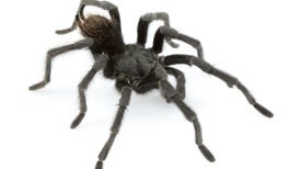Tarantula in Black: Dark, Hairy Spider Named After Johnny Cash