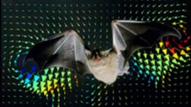 Bat's Wing Strokes Unlike a Bird's