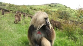 This Primate's Calls Obey a Linguistic Law