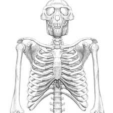 ardipithecus ramidus debate hominin hominid