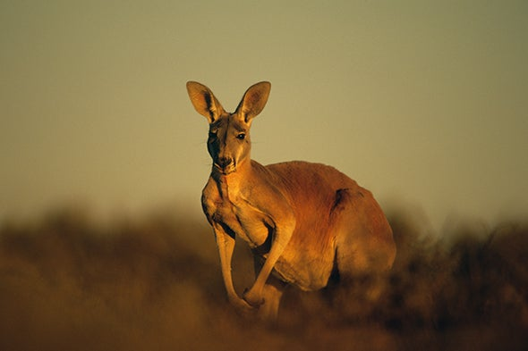 Did a Changing Climate Wipe Out the Giant Kangaroo?