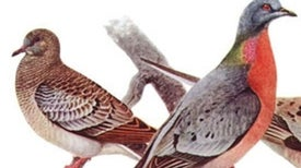 Ancient DNA Could Return Passenger Pigeons to the Sky