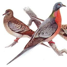 passenger-pigeons
