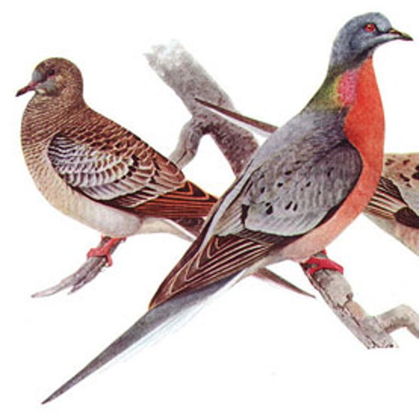 3 Billion to Zero: What Happened to the Passenger Pigeon?